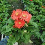 Cường's Garden – chuyên cung ứng cây kiểng sỉ và lẻ uy tín, chất lượng