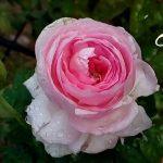 Hoa hồng mon coeur tại Cường's Garden|Cường's Garden