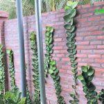 Cây Tắc Kè Thái –  làm đẹp không gian nhà bạn | Cần Thơ | TP. Hồ Chí Minh